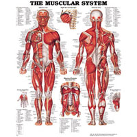 anatomical-educational-posters_12862.jpg