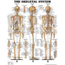 Anatomical Chart - The Skeletal System